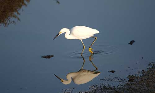A snowy egret cruises the marsh at Fort Delaware State Park
