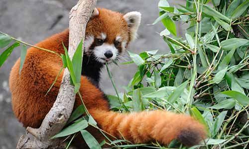 Red panda at the Brandywine Zoo